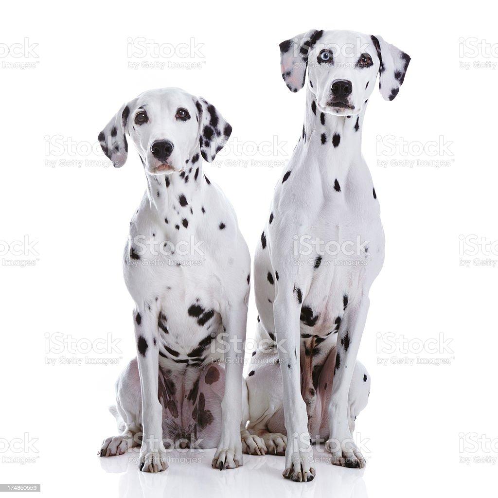 Dalmatian dogs royalty-free stock photo