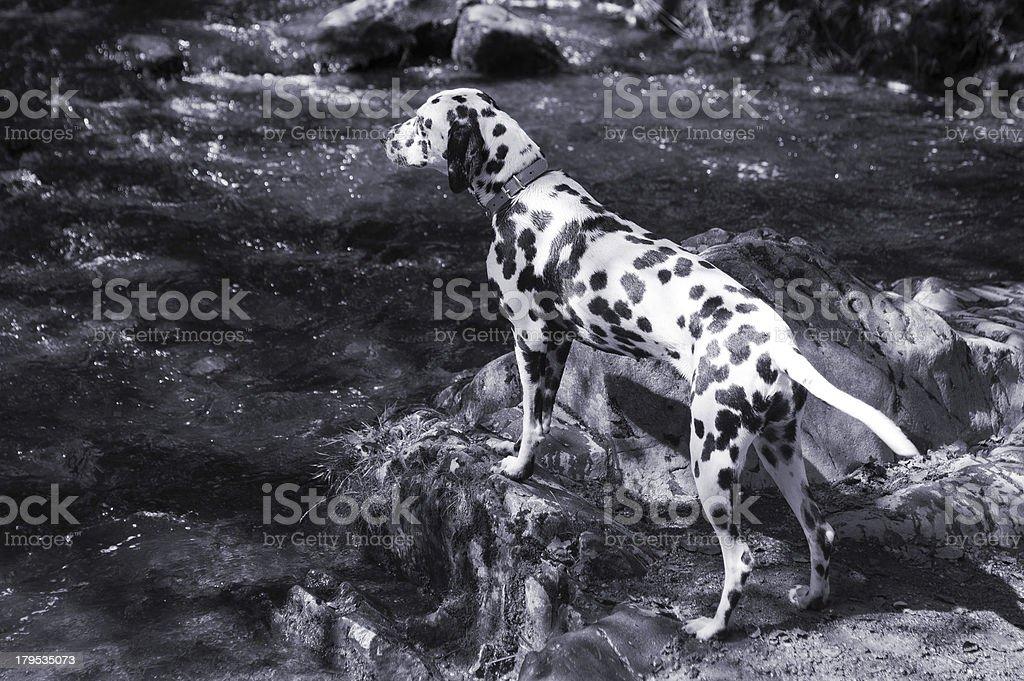 Dalmatian looking across a stream royalty-free stock photo