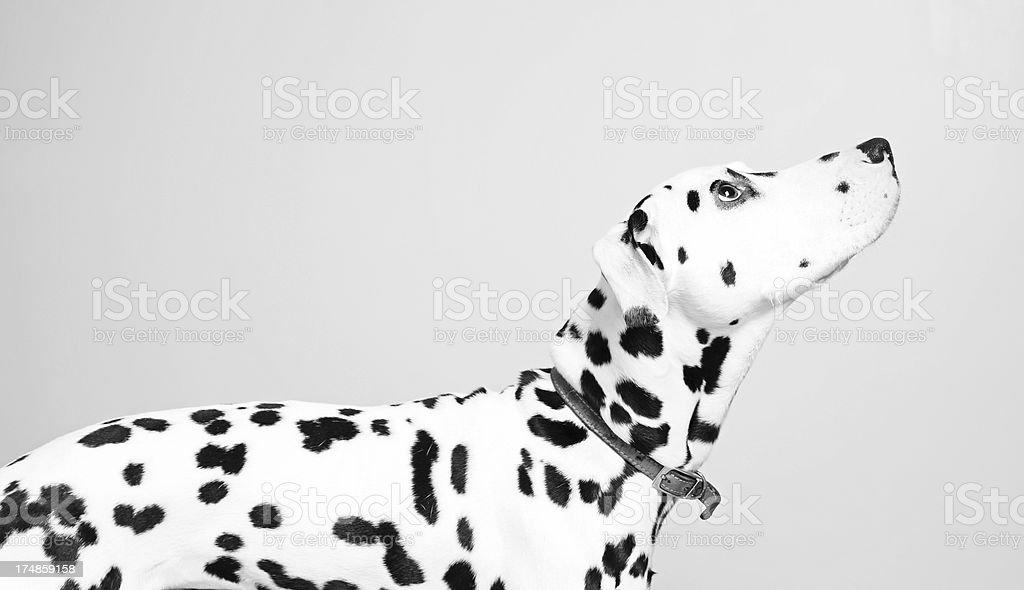 Dalmatian looking up stock photo