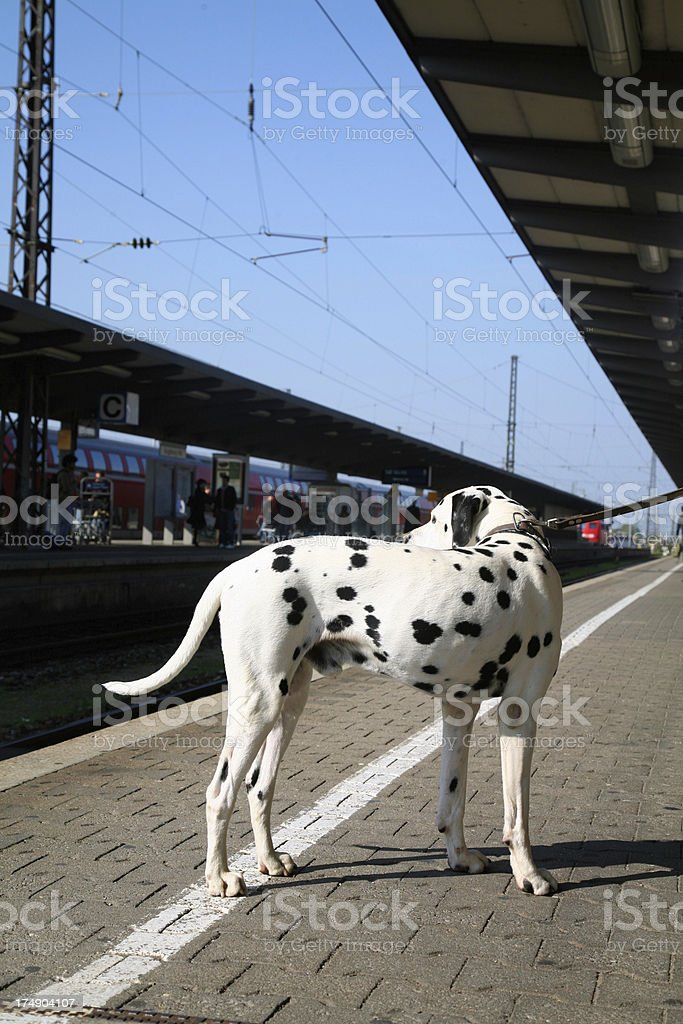 Dalmatian on a railroad station platform royalty-free stock photo