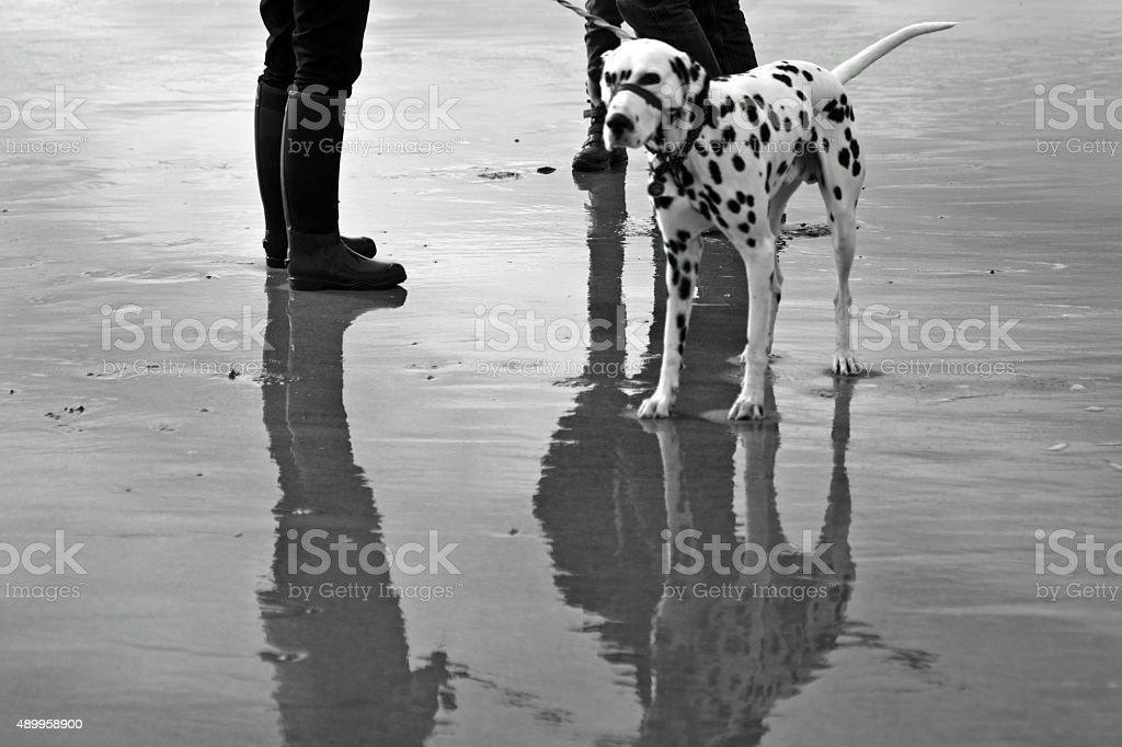Dalmatian on a sandy beach stock photo