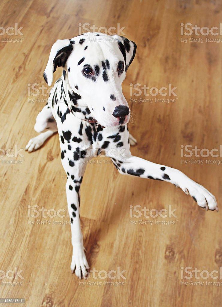 Dalmatian on laminate floor royalty-free stock photo