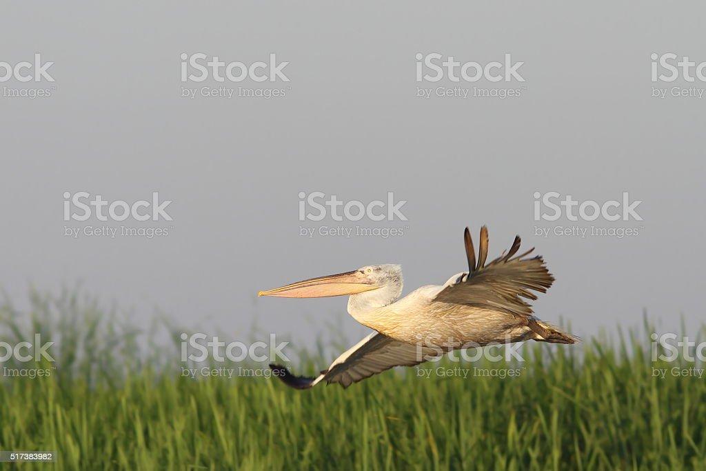 dalmatian pelican flying over marsh stock photo