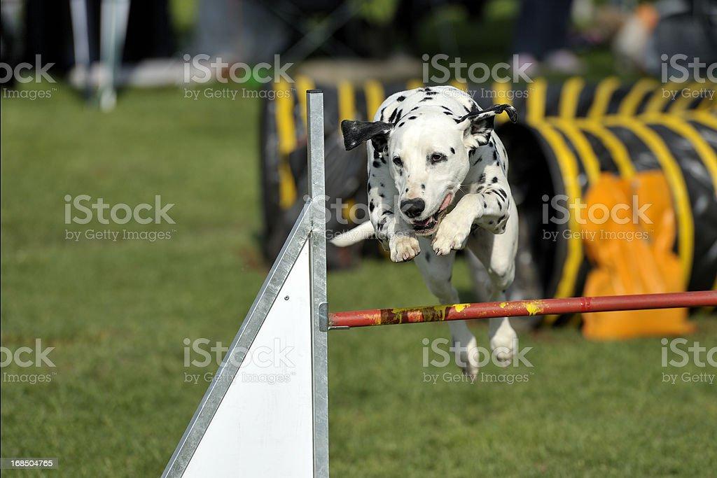 Dalmatian royalty-free stock photo