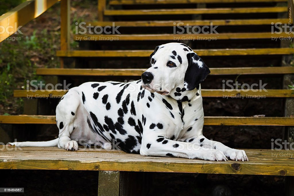 Dalmata foto stock royalty-free