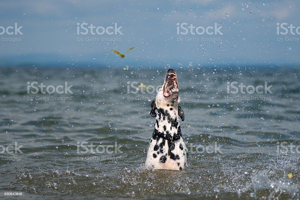 Dalmatian playing in the lake. stock photo