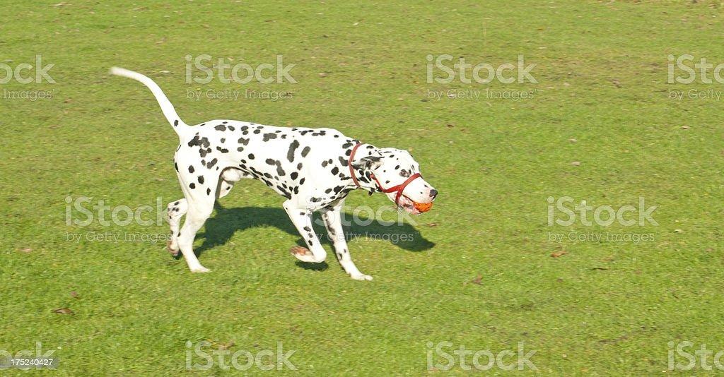 Dalmatian playing royalty-free stock photo