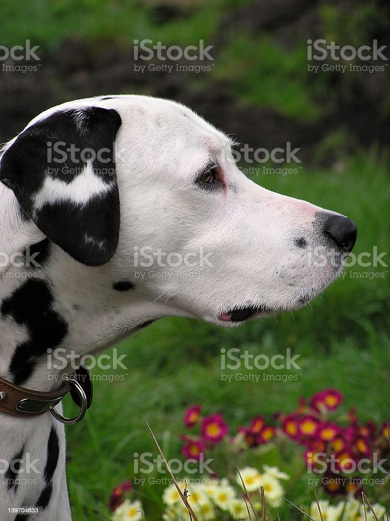 Dalmatian Profile royalty-free stock photo