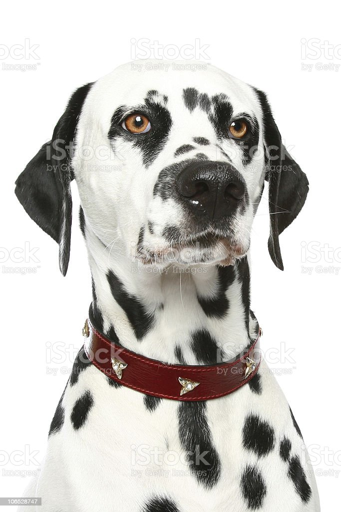 Dalmatian puppy portrait stock photo
