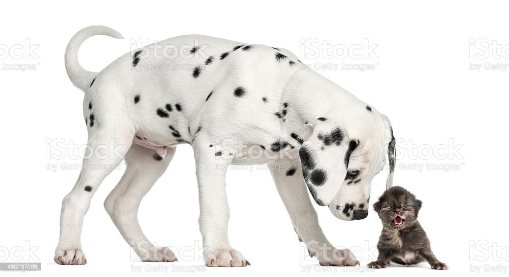 Dalmatian puppy sniffing a kitten meowing stock photo