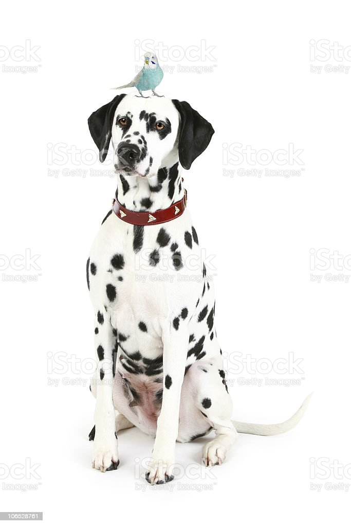 Dalmatian puppy with blue budgerigar on head stock photo