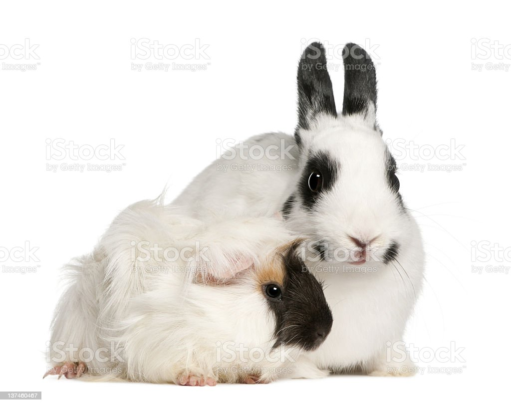 Dalmatian rabbit, 2 months old, and an Abyssinian Guinea pig stock photo