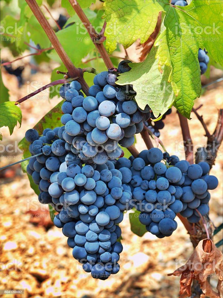 Dalmatian red grapes stock photo