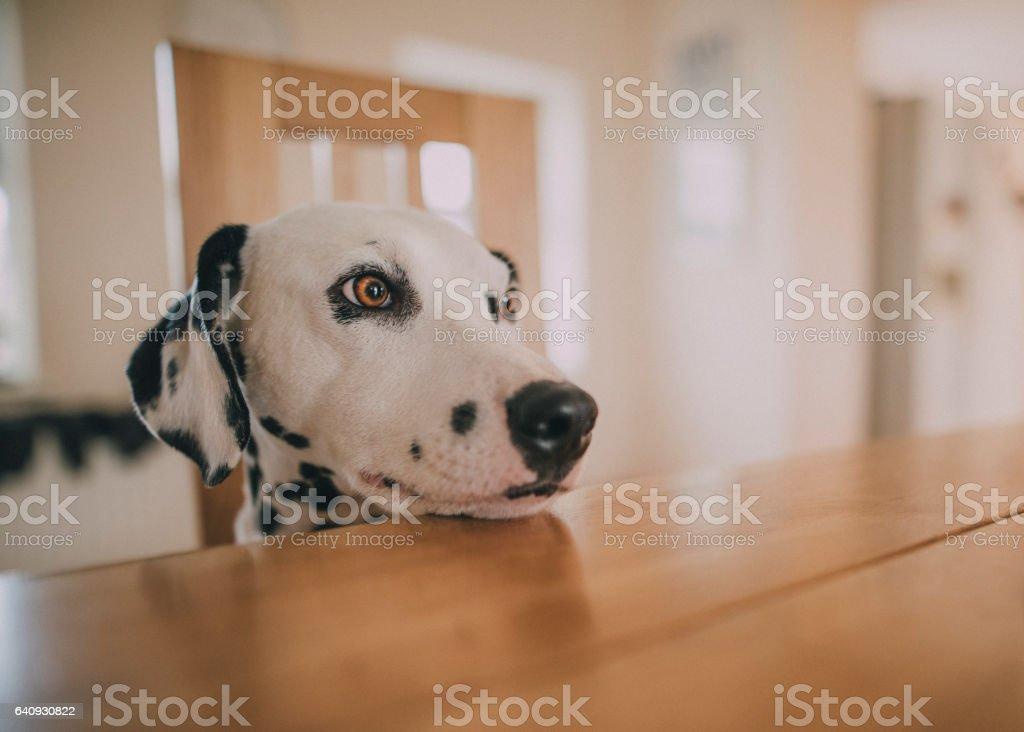 Dalmatian Resting Head on Table stock photo