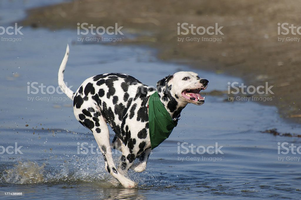 Dalmatian Running Full Out stock photo