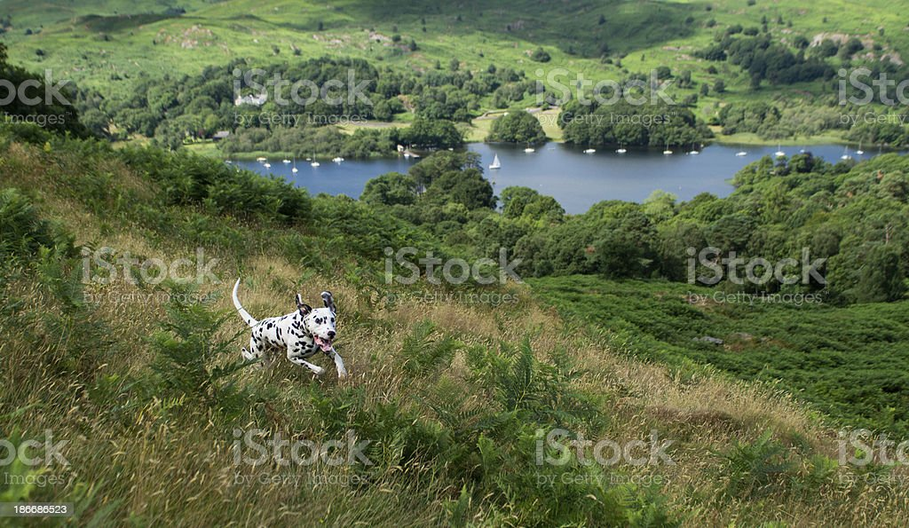 Dalmatian running on fells above Coniston water royalty-free stock photo