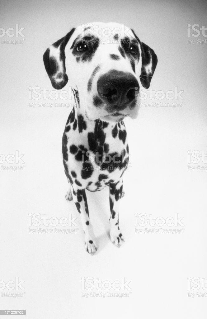 Dalmatian sitting royalty-free stock photo