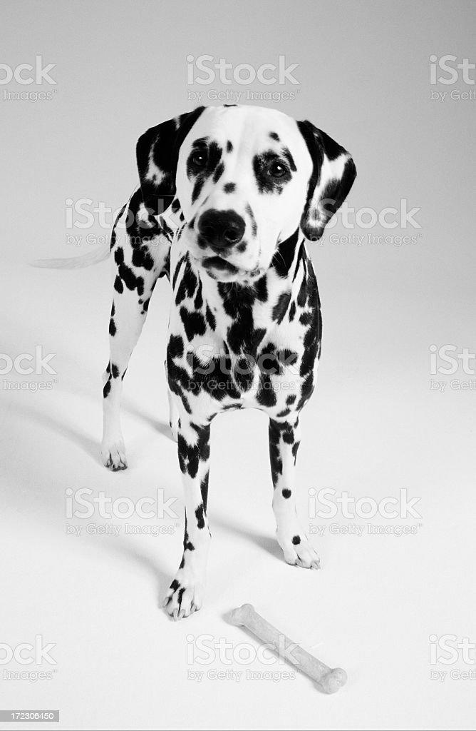 Dalmatian with bone on white. royalty-free stock photo