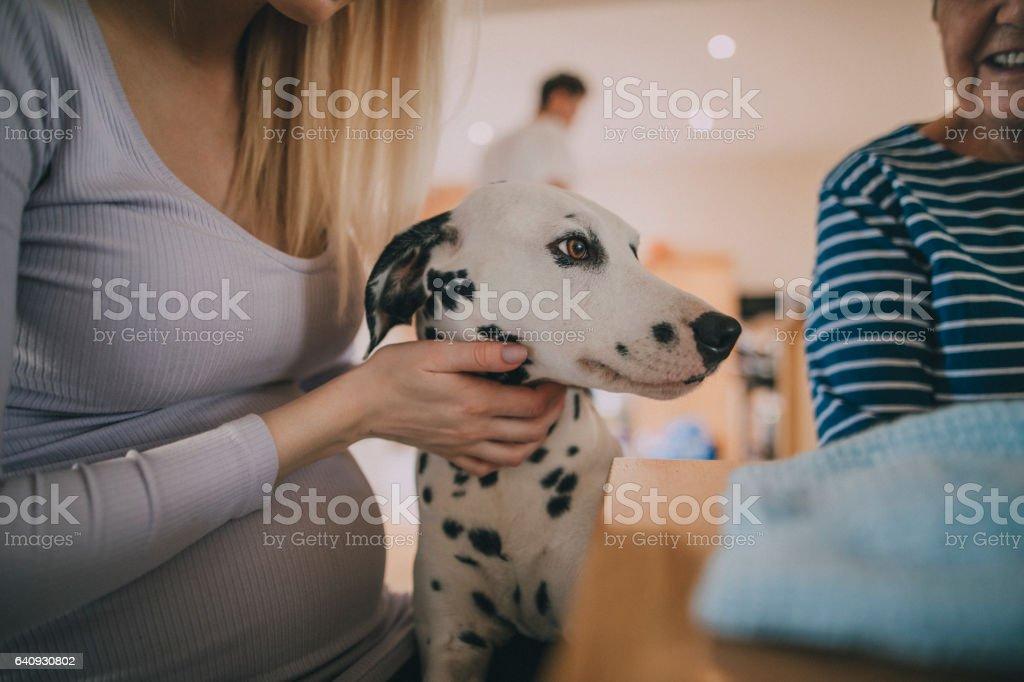 Dalmatian with pregnant woman stock photo