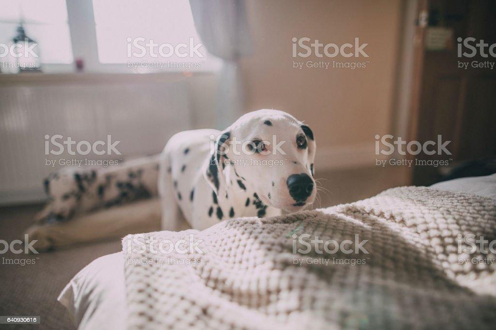 Dalmatians in a Bedroom stock photo