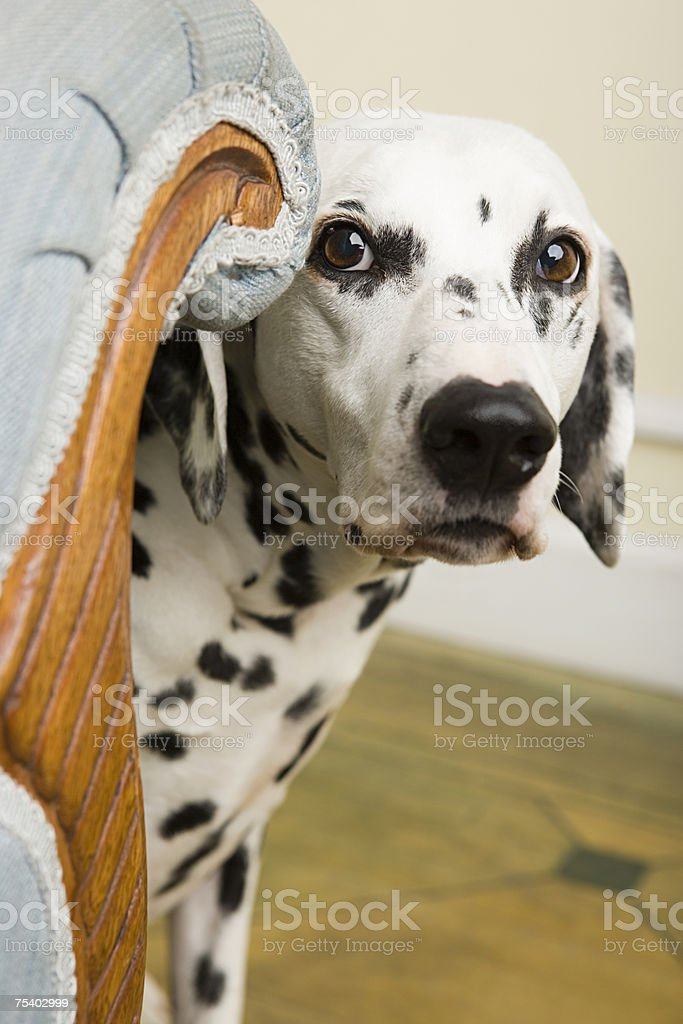 Dalmation by a chair stock photo