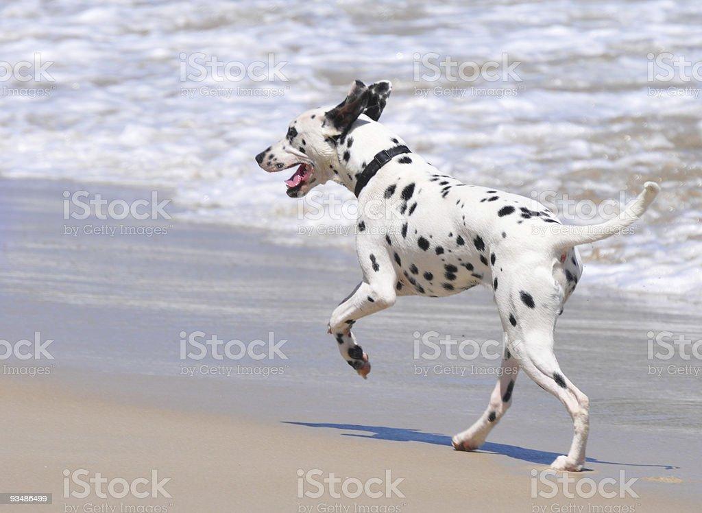 Dalmation Dog Running along Beach stock photo