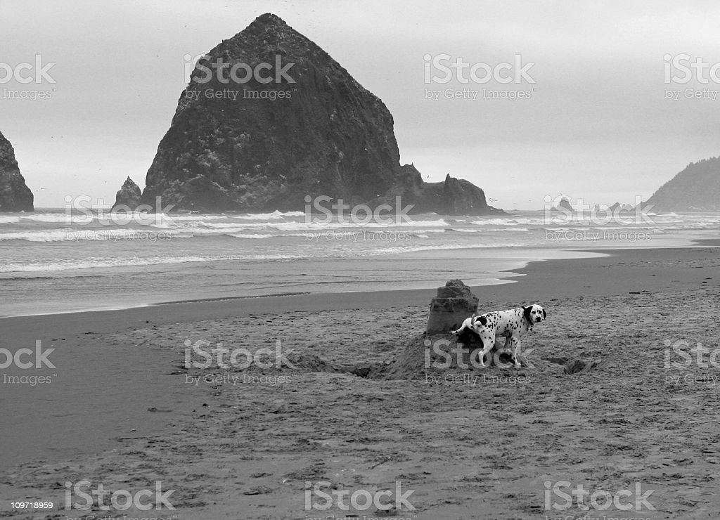 Dalmation Peeing on a Sandcastle stock photo