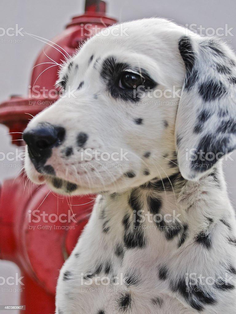 Dalmation Puppy stock photo