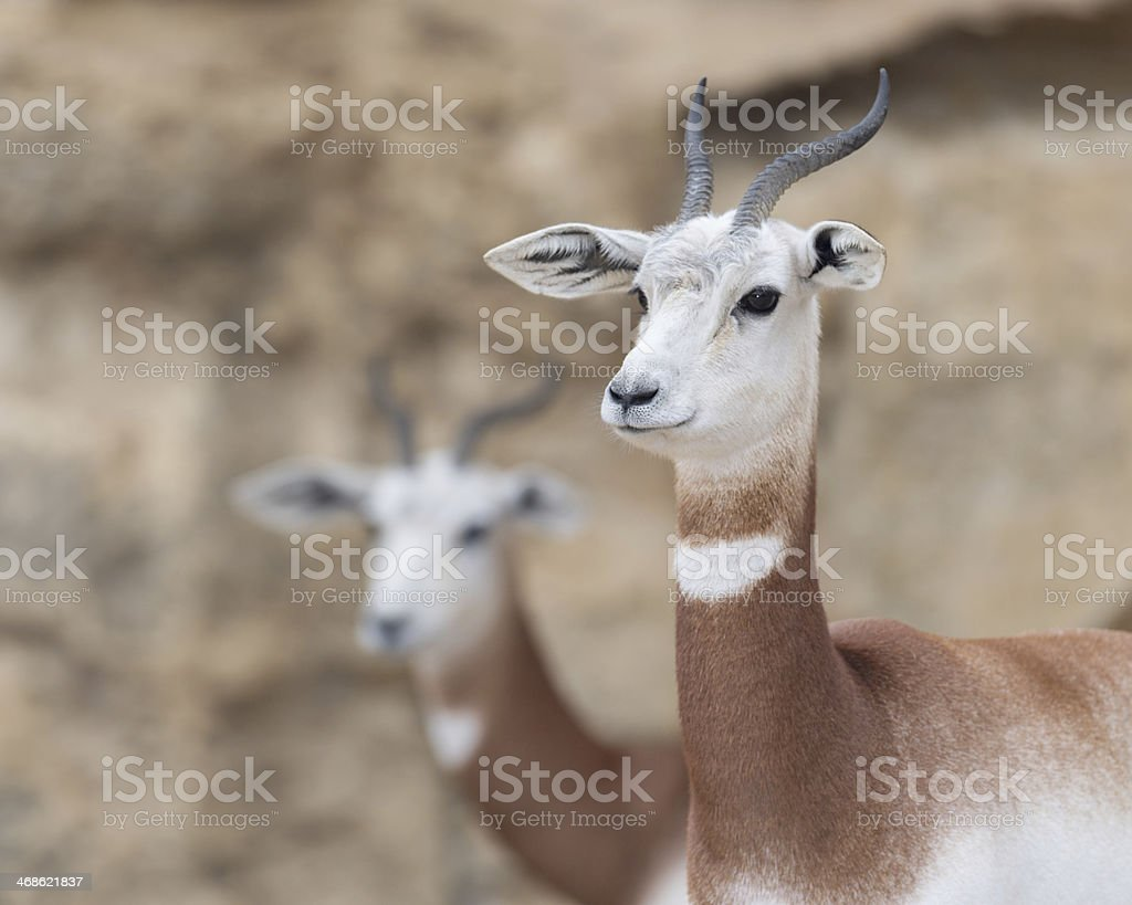 Dama gazelles stock photo