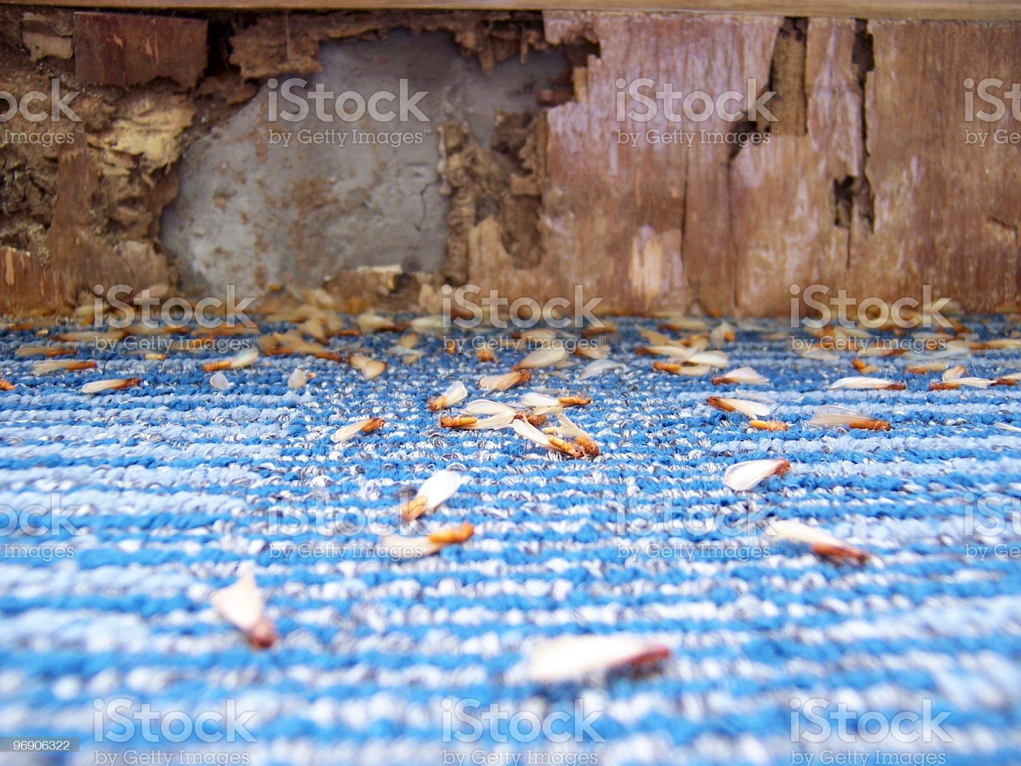 Damage caused by Termites (series) royalty-free stock photo