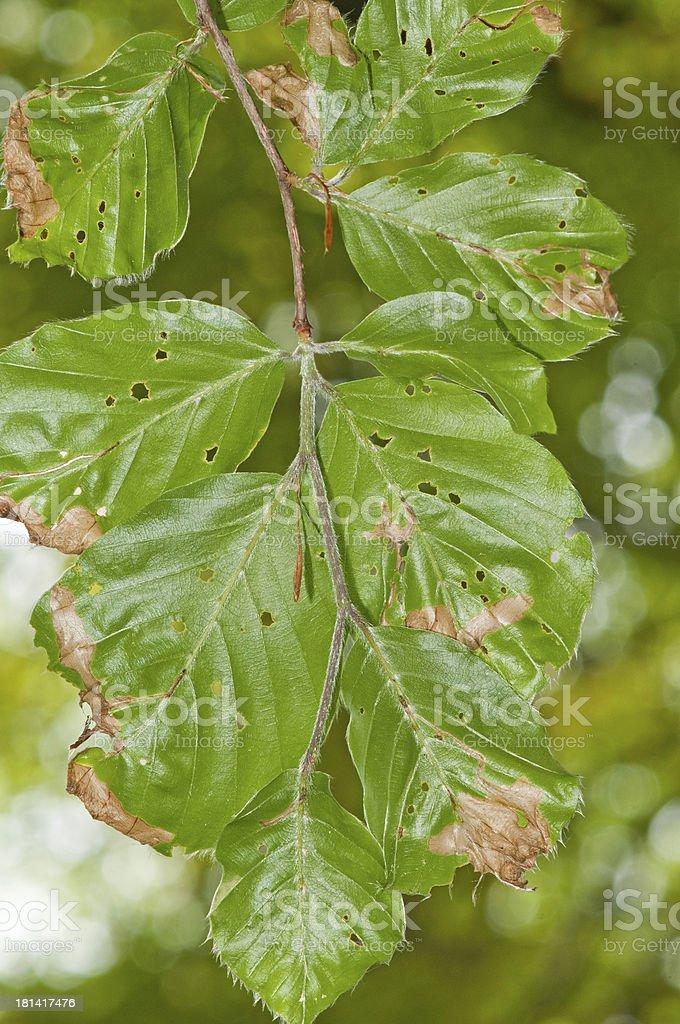 Damaged beech (Fagus sylvatica) foliage (bottom side) stock photo