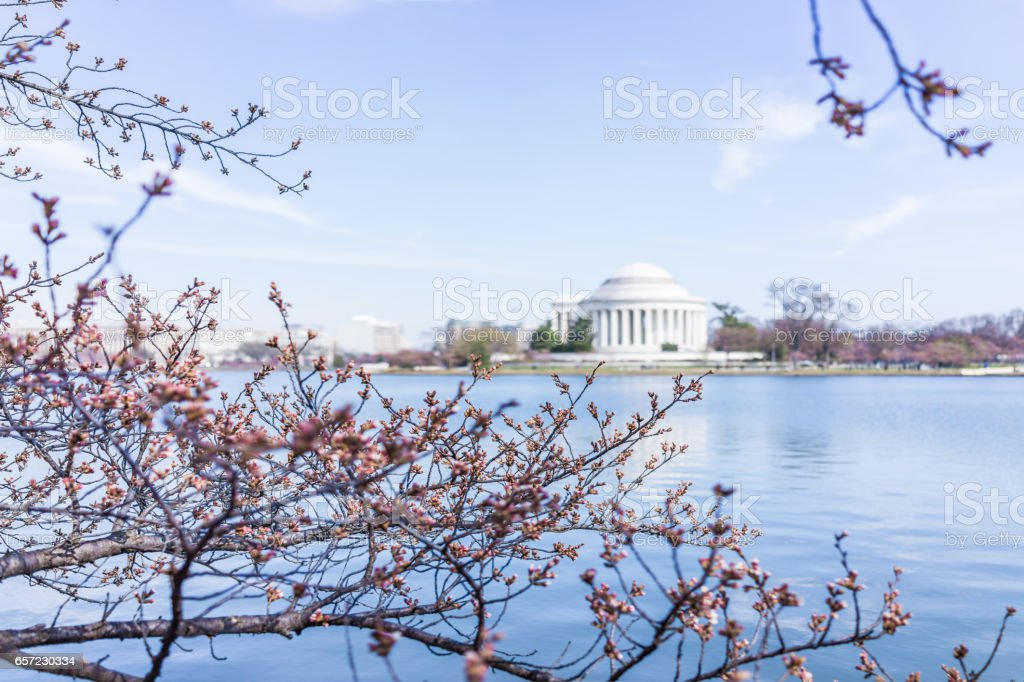 Damaged cherry blossom branch in Washington DC with Tidal basin and Thomas Jefferson Memorial stock photo