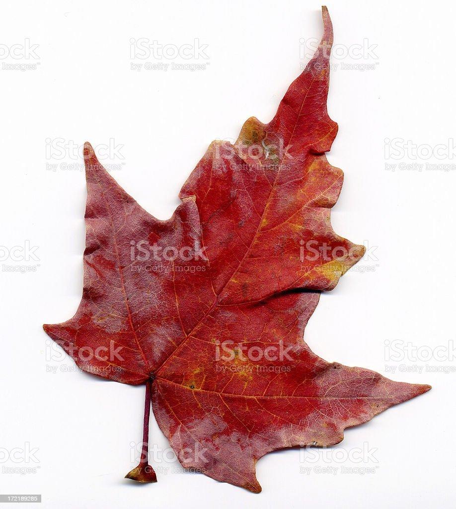 Damaged Leaf royalty-free stock photo