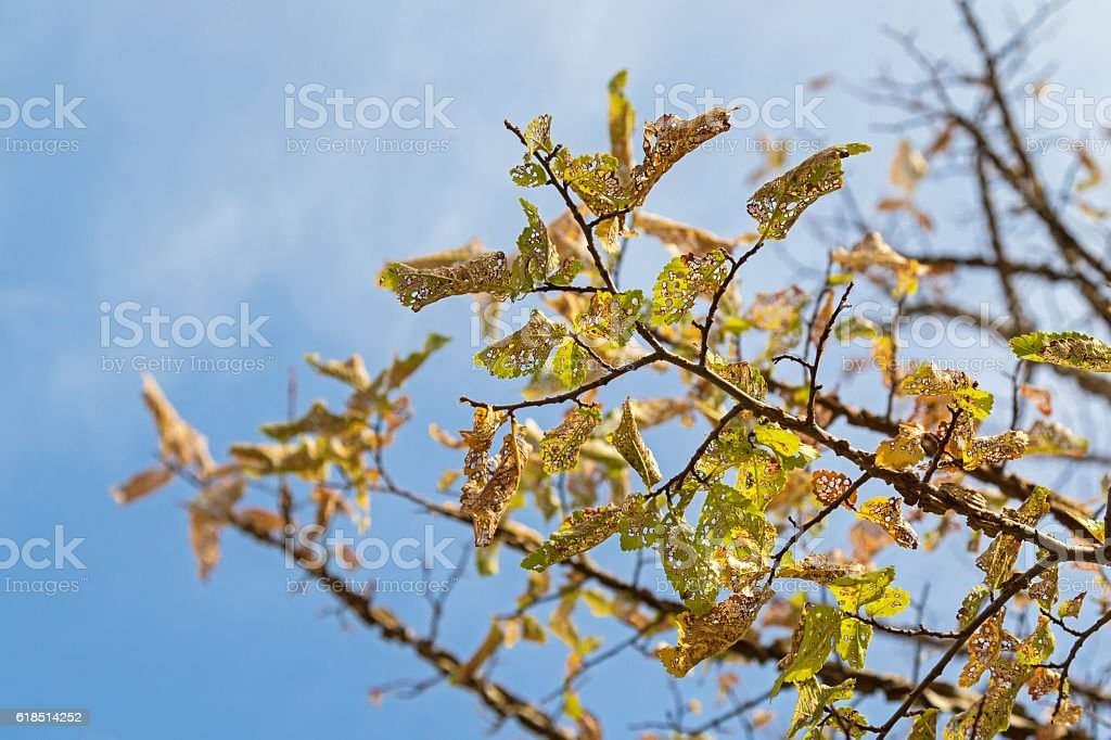 Damaged yellow Autumn leaves of Elm tree caused by Caterpillar stock photo