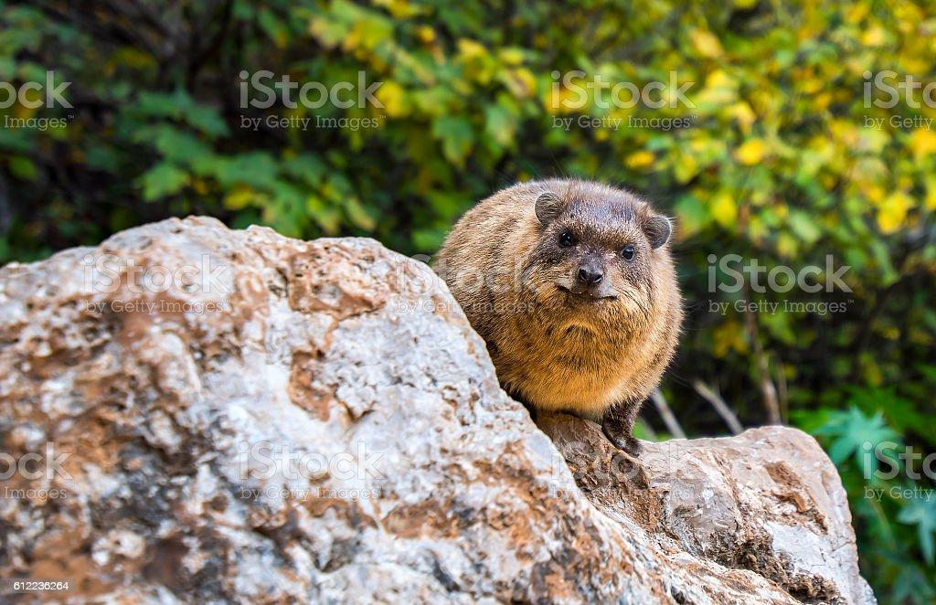 Daman, hyrax stock photo