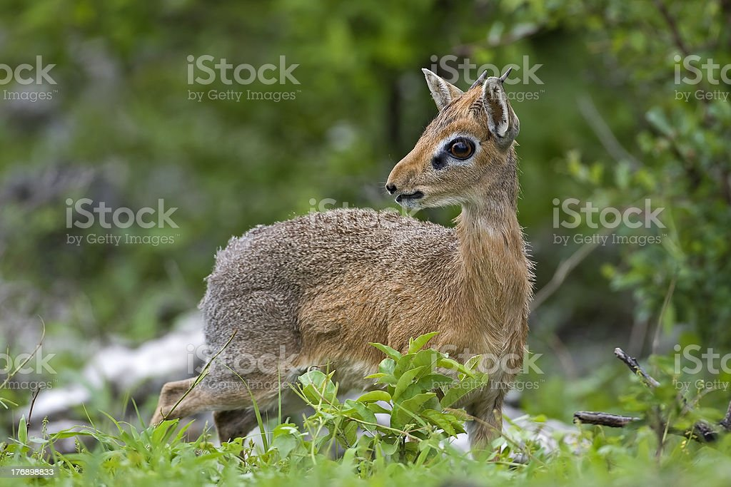 Damara Dik-Dik stock photo