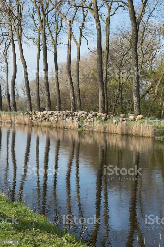 Damse Vaart flock of sheep in Belgium stock photo