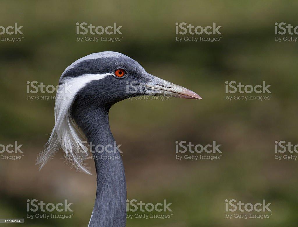 Damsel Stork zbiór zdjęć royalty-free