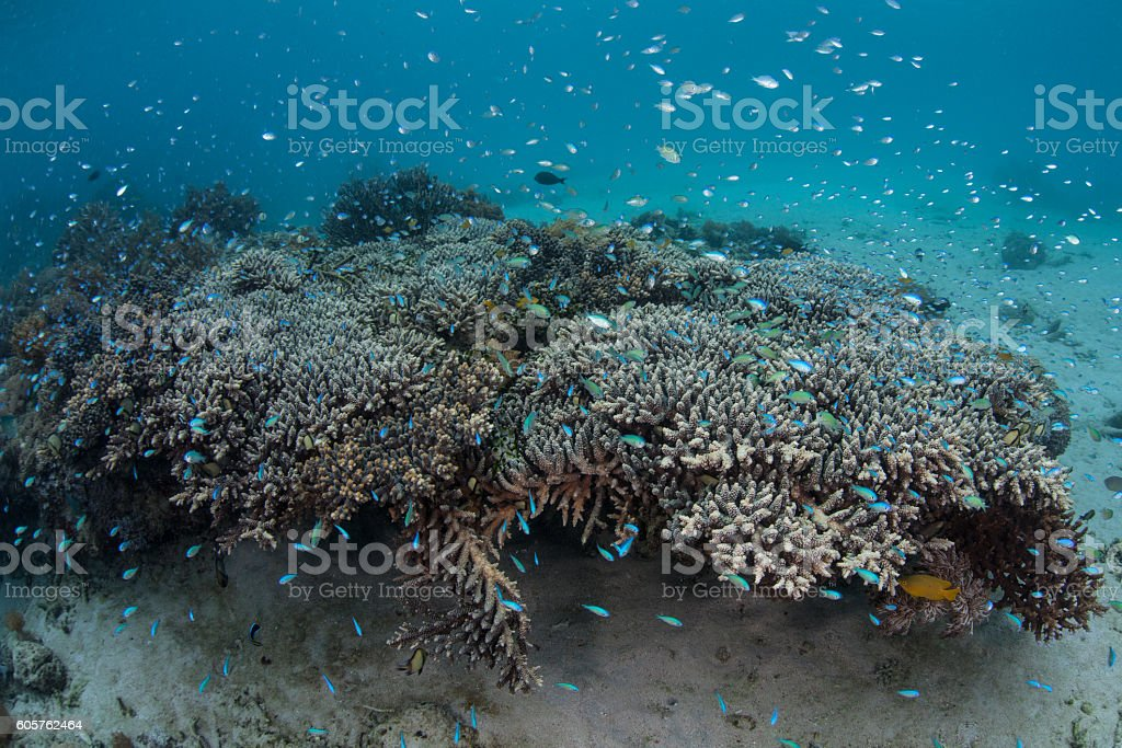 Damselfish and Corals stock photo