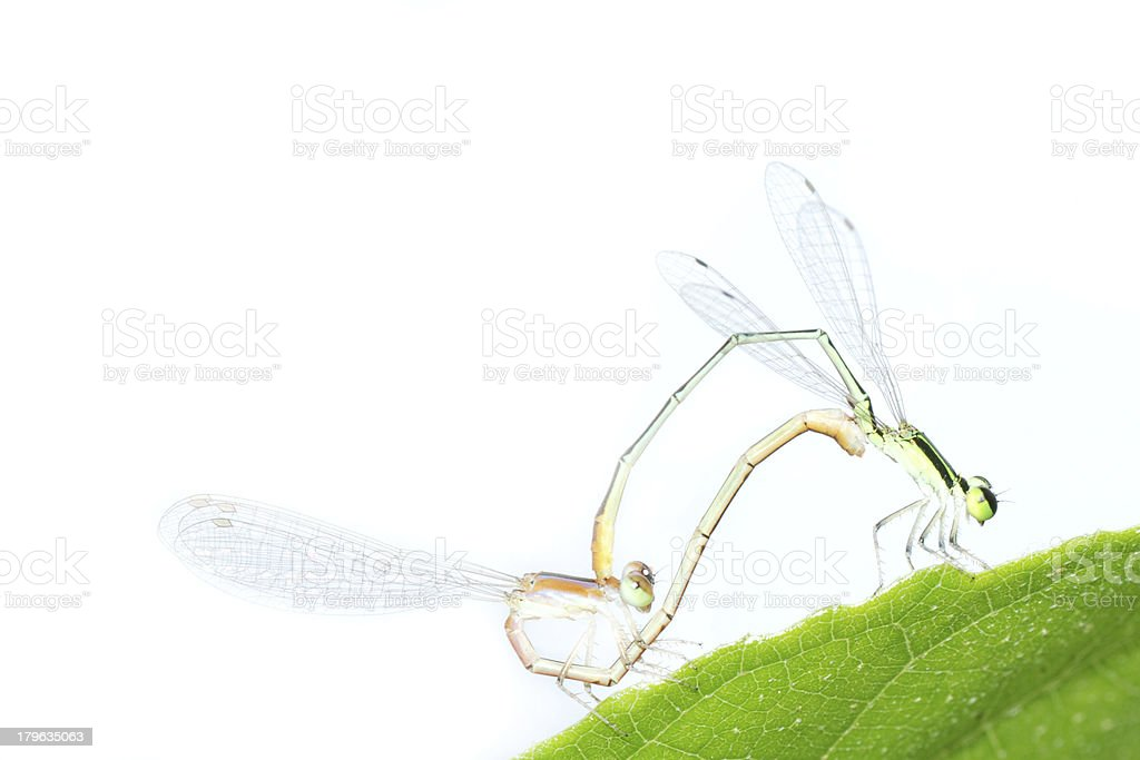 damselfly dragonfly mating isolated royalty-free stock photo