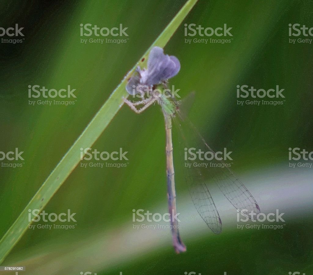 damselfly, eaten insects. stock photo