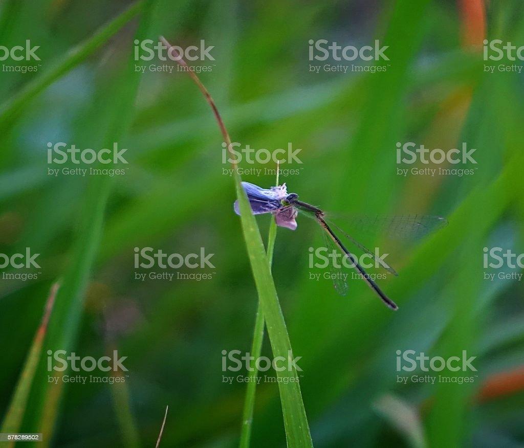 damselfly grab bug stock photo