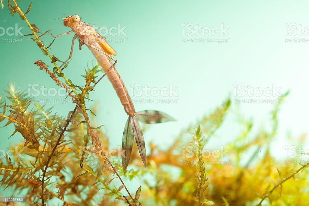 damselfly larvae stock photo