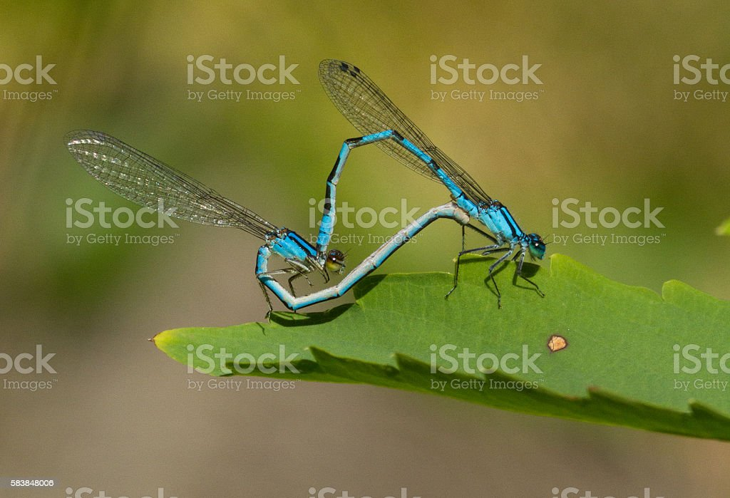 Damselfly mating stock photo