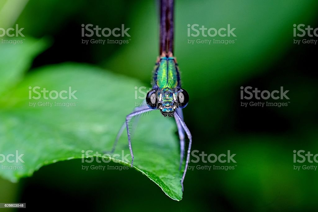 Damselfly photographed from the front at close range stock photo