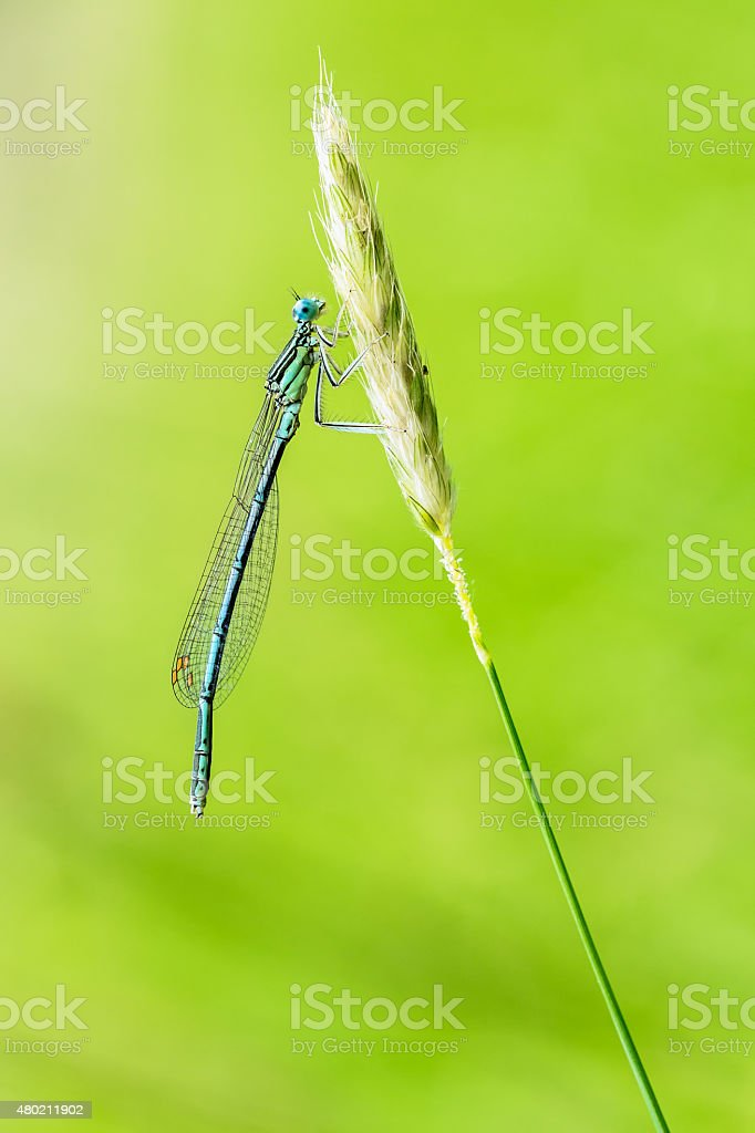 Damselfly royalty-free stock photo