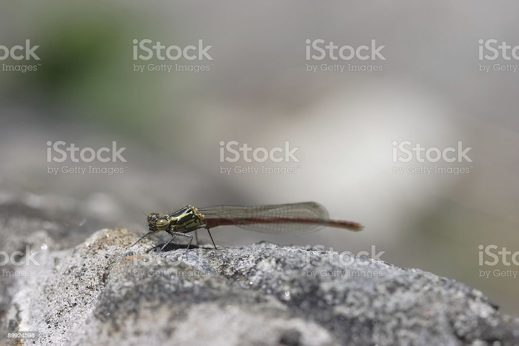 Damselfly - Side View royalty-free stock photo