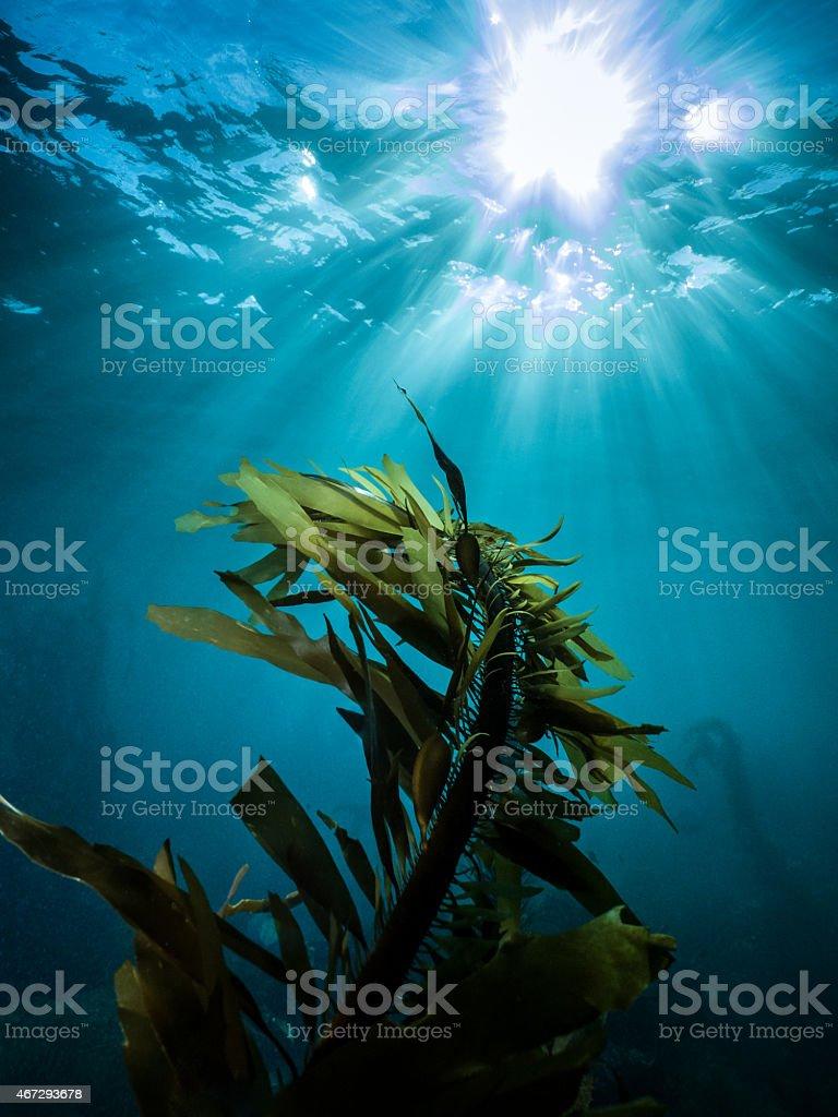 Dana Point Sunburst Reef Kelp - Underwater Photography stock photo