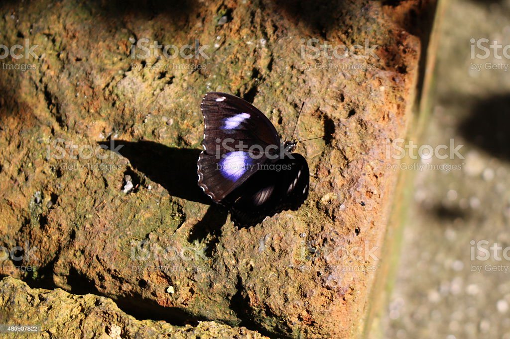 'Danaid Eggfly' Butterfly - Hypolimnas Misippus stock photo