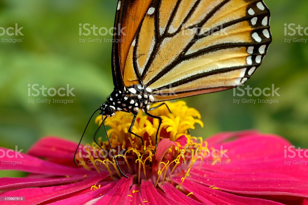 Danaus plexippus royalty-free stock photo